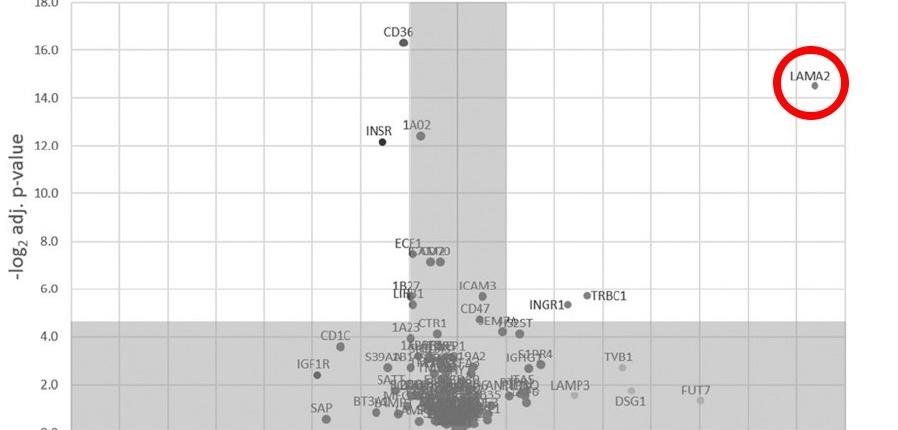 Dualsystems- LAMA2-GPCR-T Cells